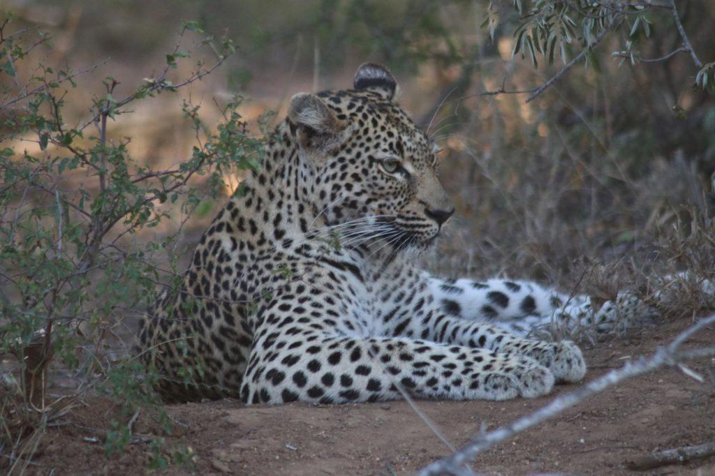 Elusive Leopard sighting on safari