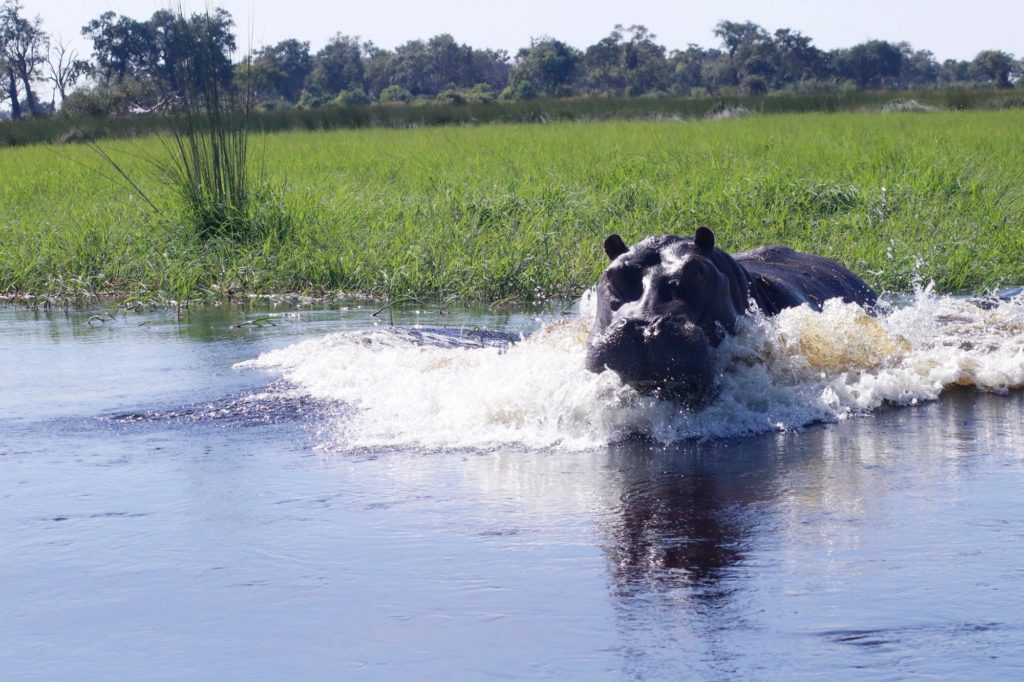 Slightly angry hippo