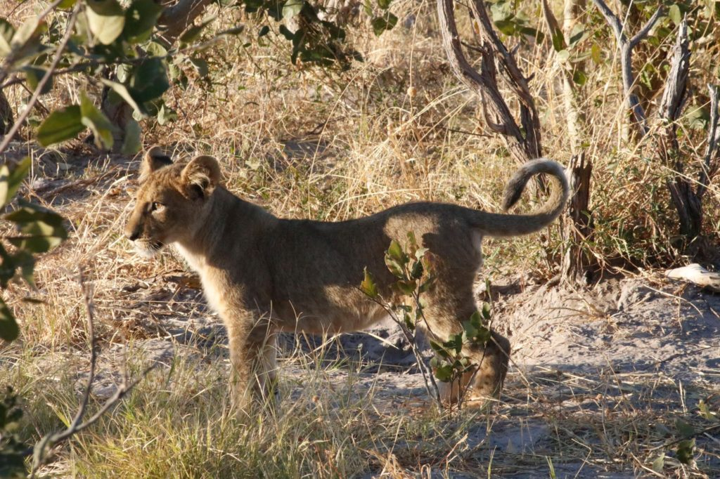 Lion cub on safari in South Africa