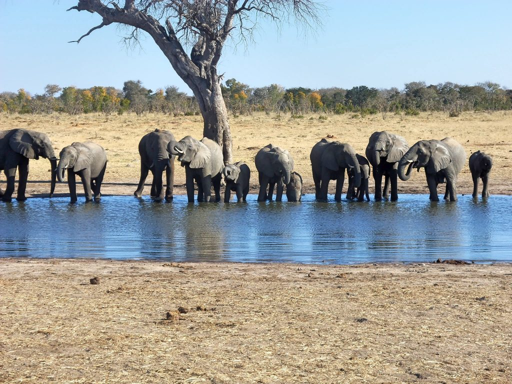Elephants drinking in the water hole
