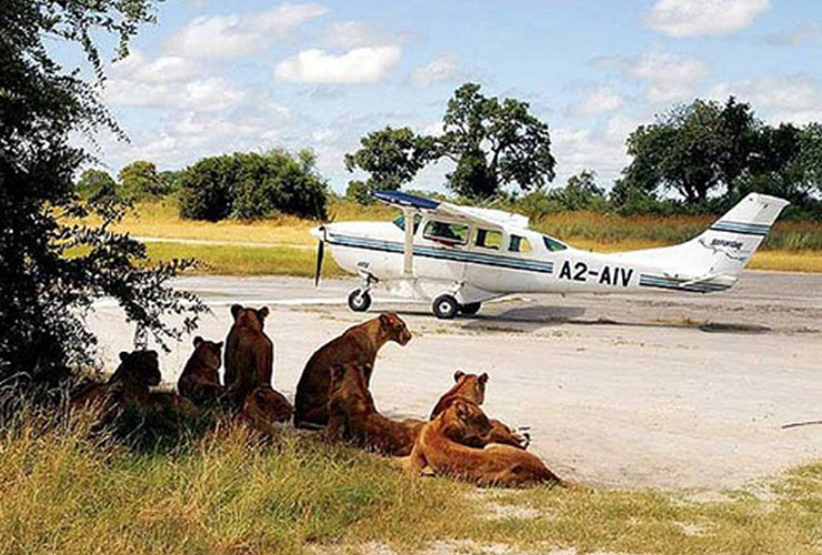 lions by the plane