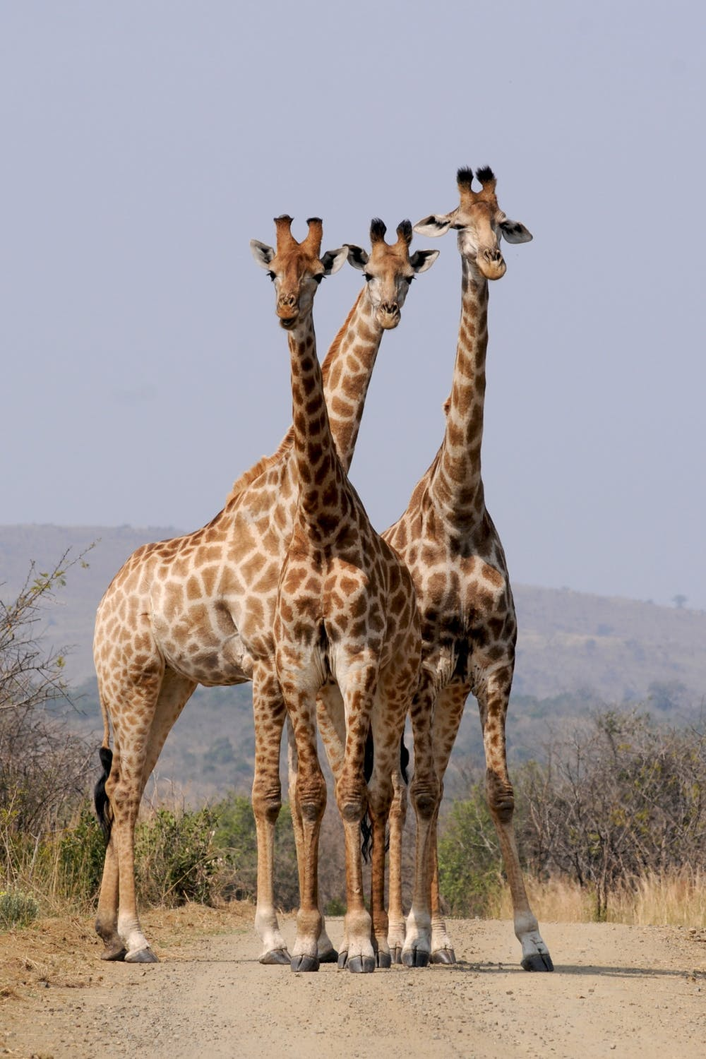 tower of giraffes in South Africa