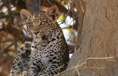 okavango delta_Leopard Cub in the Delta Moremi Game Reserve.1