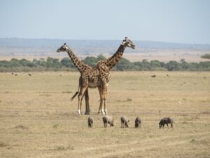 Masai Mara Wart Hogs and giraffes