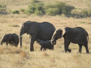 Elephants and baby nursing in the Masai Mara