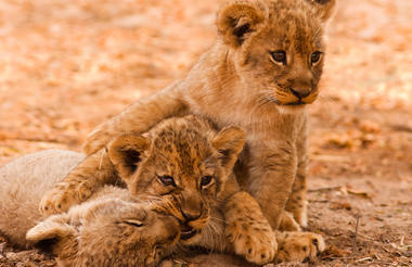 Lion cubs in south Luangwa National Park