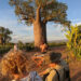 Madagascar's Upside-Down Tree
